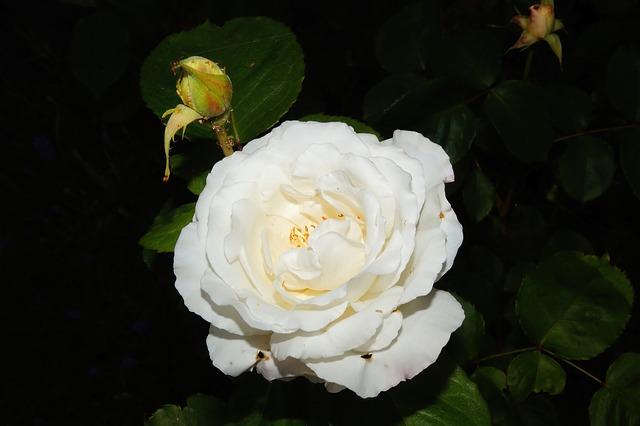 Free rose flower white fragrant beauty