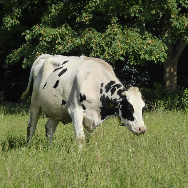 Free cow milk cow beef black white animal spotted