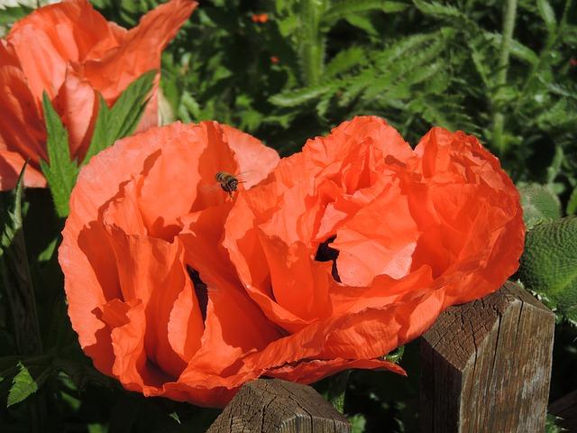 Free poppy poppy flower klatschmohn red flower orange
