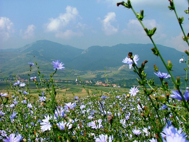 Free rimetea transylvania field nature intybus chicory