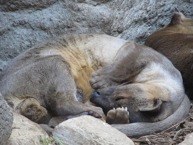 Free asian small clawed otter sleeping close-up
