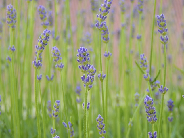 Free lavender flowers violet close wild flower purple