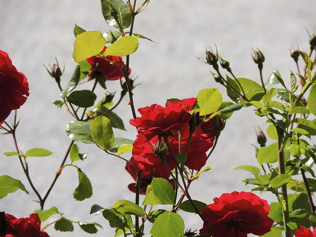 Free rose flowers flower red close