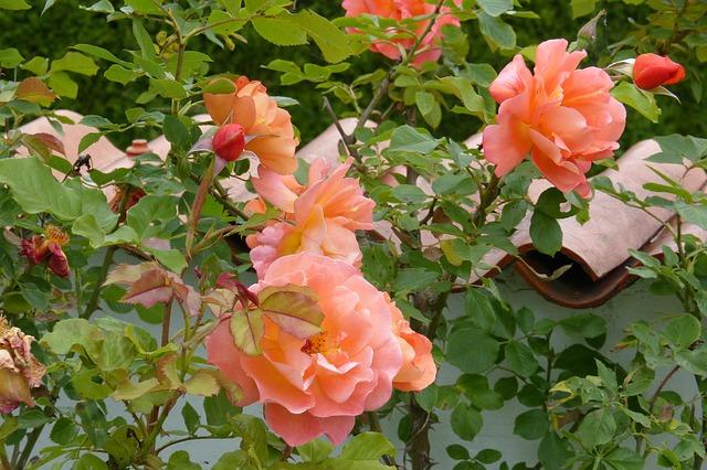 Free rose westerland garden wall salmon flower beauty