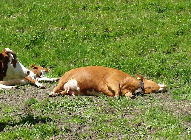 Free heat cow pasture pentecost 2014 lying alm tired