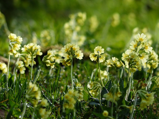 Free cowslip flowers bright yellow yellow high primrose