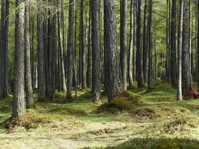 Free larch forest forest larch tree trunks strains