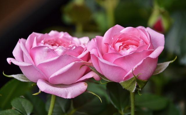 Free flower plant nature rose pink flora