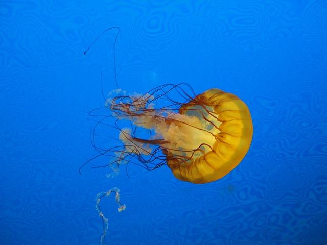 Free jellyfish blue marine animal jellies float