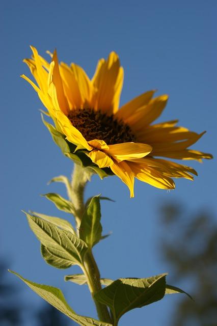 Free sunflower yellow flower plant summer nature