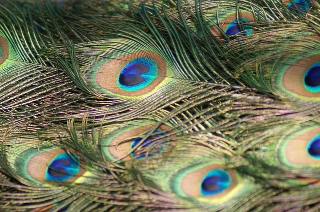 Free peacock feathers peacock feathers feathered bird