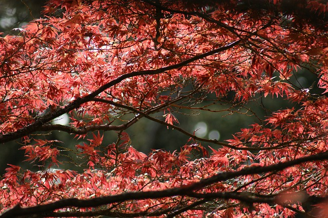 Free maple tree tree autumn nature maple foliage leaf