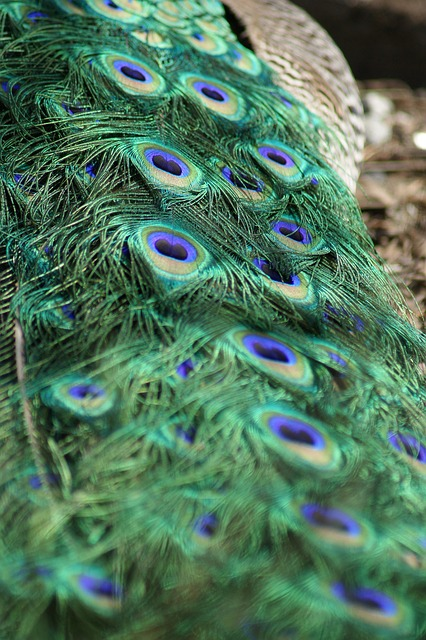 Free peacock tail tail feathers bird elegance feathers