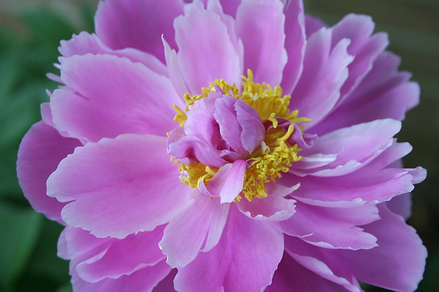Free peony paeonia perennial flower pink floral garden