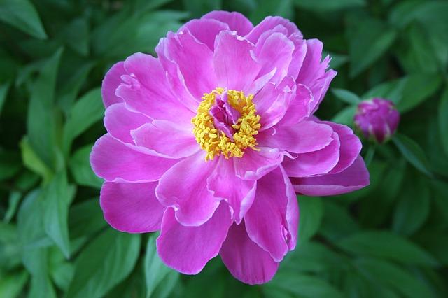 Free peony paeonia perennial flower pink floral garden