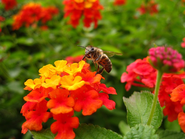 Free lantana bee flower insect color orange yellow