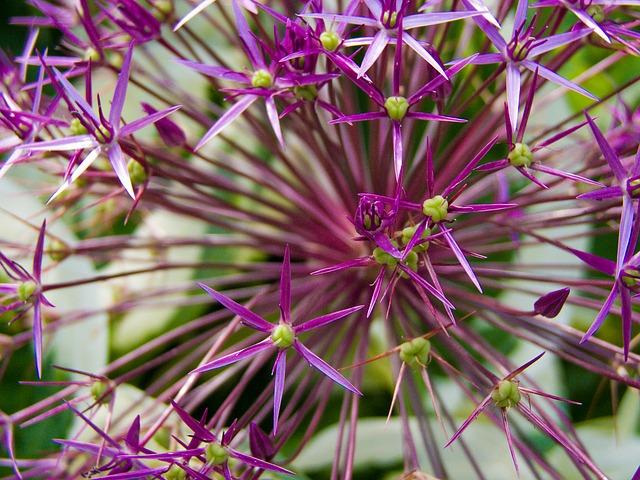 Free ornamental onion flower plant spring purple pink