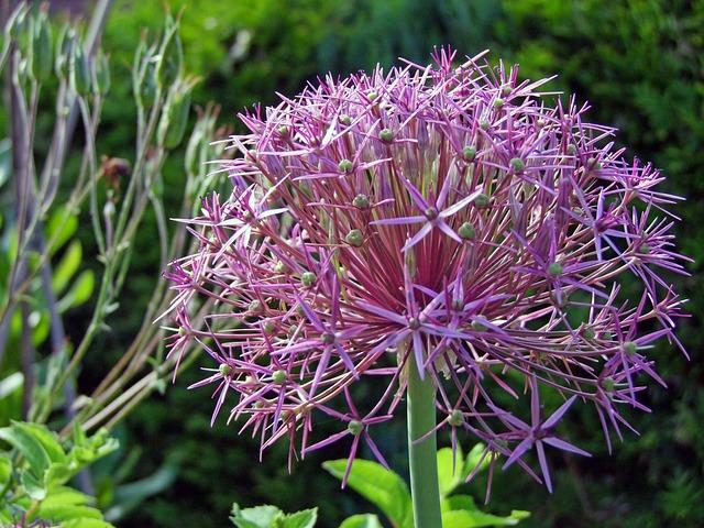 Free ornamental onion flower flower ball plant spring