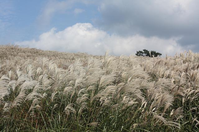 Free reed autumn jeju island