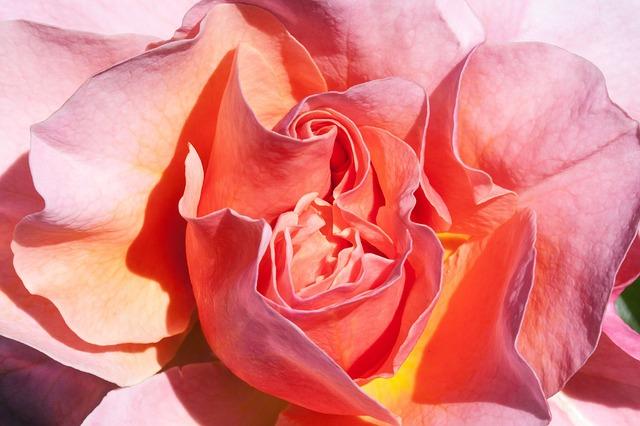 Free rose orange yellow salmon flowers summer flower