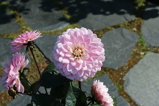 Free pink flower garden plant flower summer