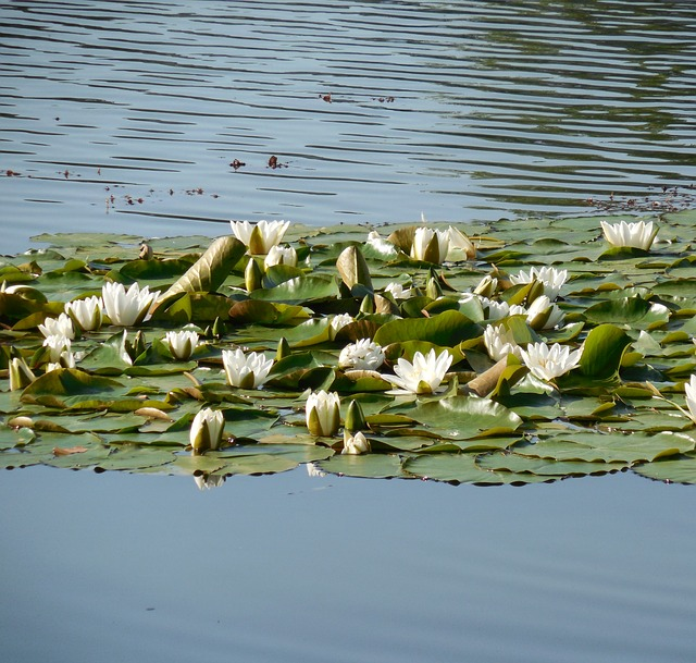 Free Photos: Water lily nuphar flower aquatic plant bloom water | succo