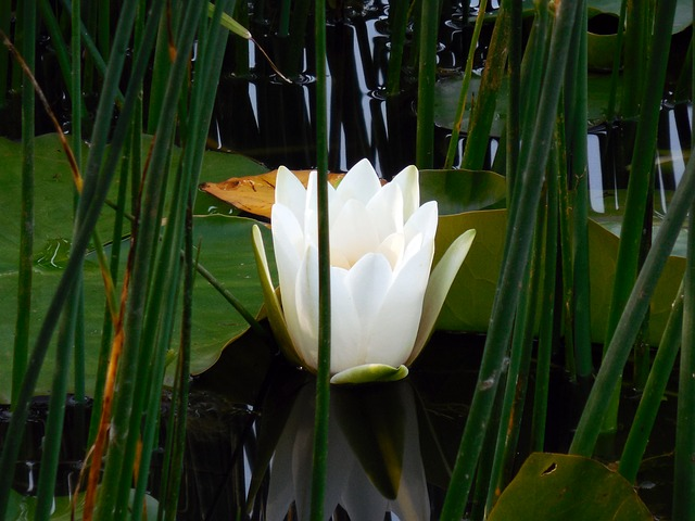 Free water lily nuphar flower aquatic plant bloom water