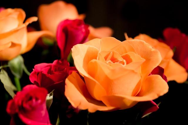 Free roses rose flower red rose rose bloom beauty love