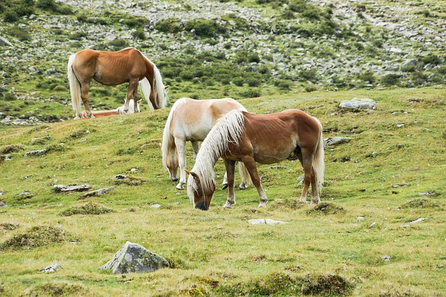 Free horses horse alm meadow graze pasture