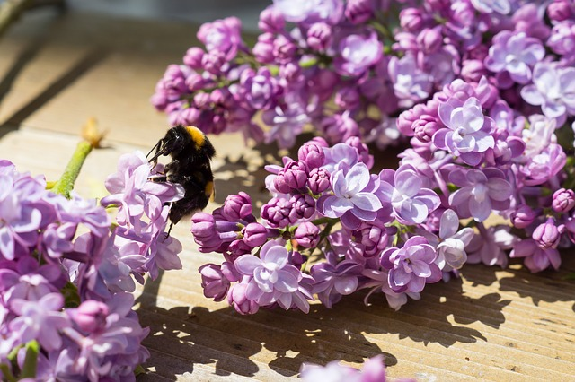 Free hummel lilac flower bush plant spring beautiful