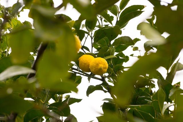 Free lemon lemon tree fruit tree fruit limone sour bio