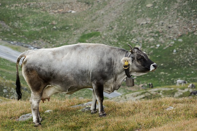 Free cow alm landscape graze cattle animal tyrol