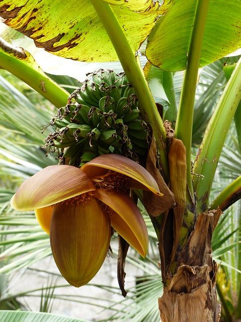 Free bananas banana shrub plant shrub green immature