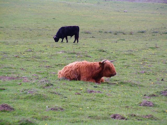 Free scottish highland cow cattle cows rügen cow idyll