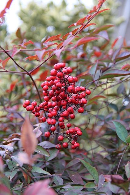 Free red berries heavenly bamboo nature nandina berries