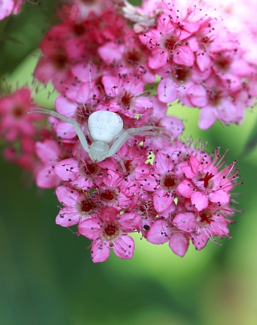 Free white flower crab spider spider spirea insect