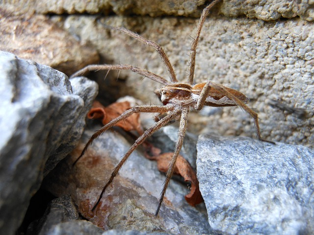 Free spider macro detail lovčík h pisaura mirabilis
