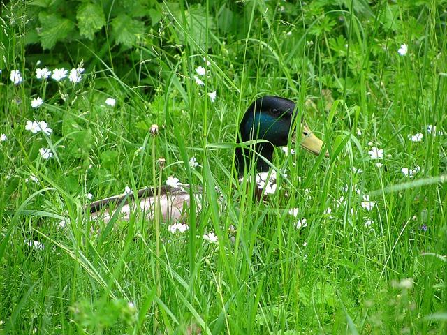 Free duck water bird bird wild bird poultry animal