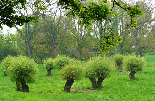 Free pollarded willows pasture pasture trees landscape