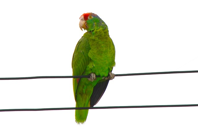 Free red-fronted macaw parrot ara rubrogenys amazonas