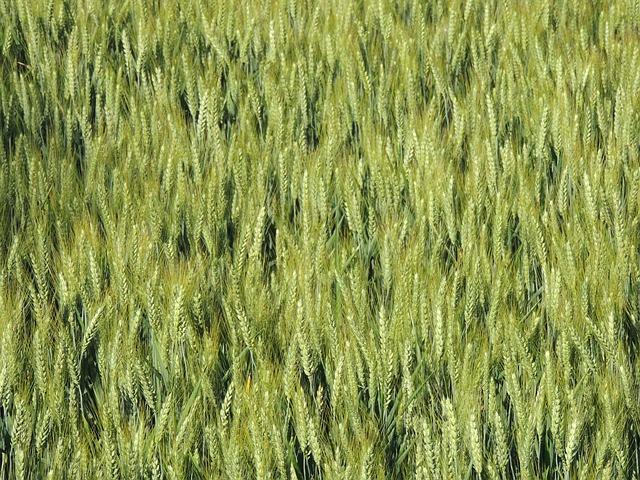 Free wheat epi cornfield spring campaign nature field