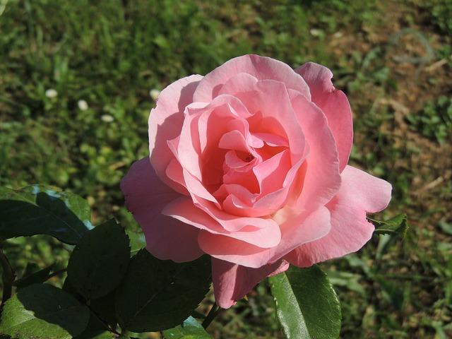 Free flower pink garden petals spring nature pretty