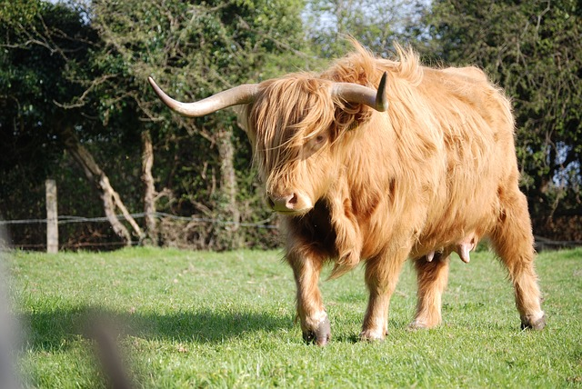 Free highland cattle cattle cow hairy horns farm animal