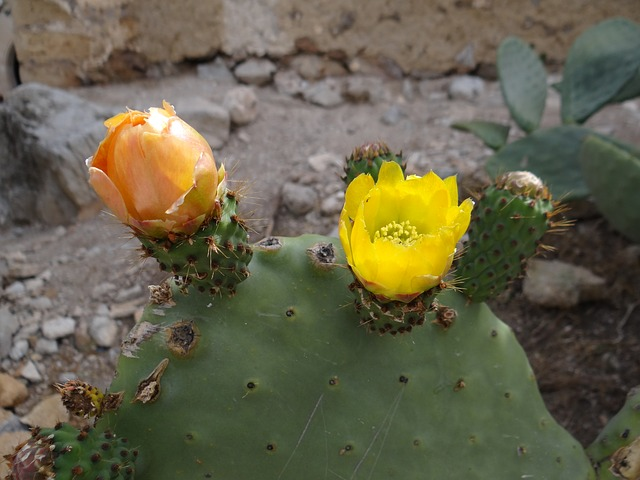 Free cactus blossom prickly pear cactus bloom