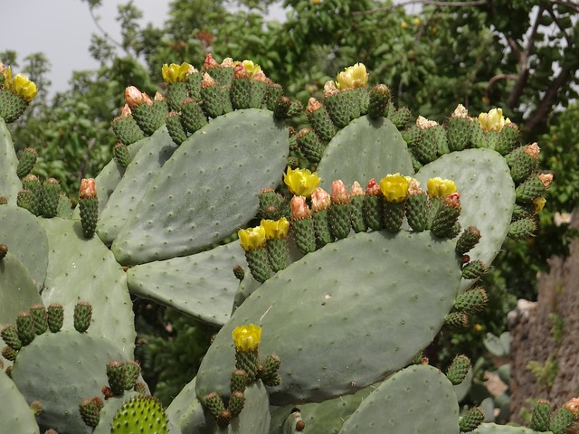 Free cactus flowers prickly pear cactus flowers