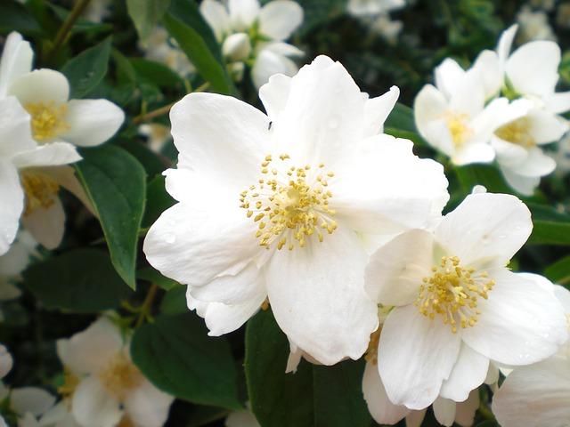 Free bill jasmin white flower blossoms white green