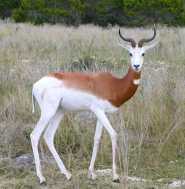Free Photos: Springbok staring antidorcas marsupialis animal | skeeze