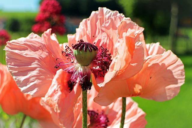 Free boll seeds poppy pink pink poppy flower capsule