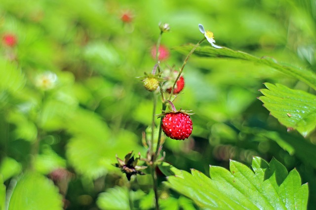 Free forest strawberry fragaria vesca food nature berry