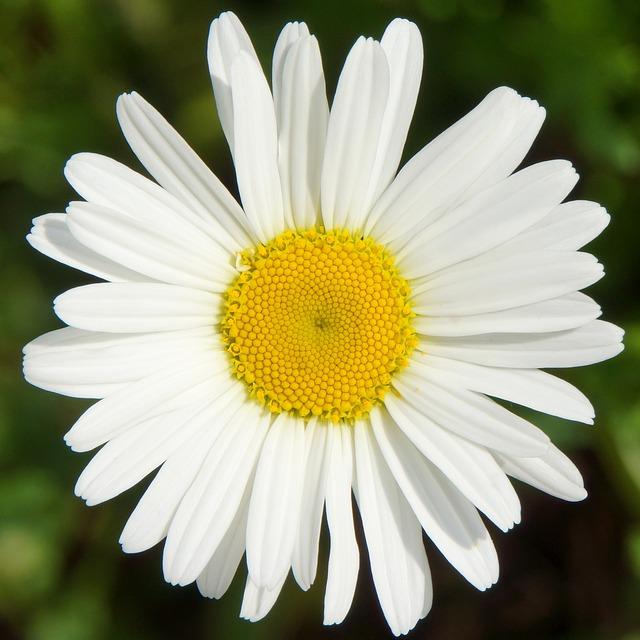 Free daisy leucanthemum vulgare white natural flower